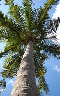 pálmafa otthon