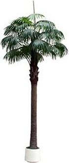 Big Fan Palm