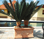 Cycas pálma (vastag törzsü)