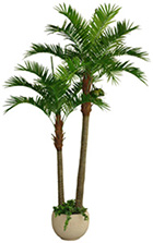 Coco Palm (2 törzs)