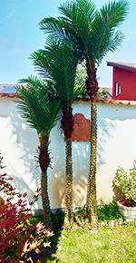 Phoenix pálma (3 törzs)