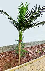 Alexandra pálma mini 1,8 m