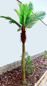 Phoenix pálma midi 2,2 m