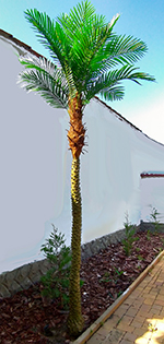 Phoenix pálma tall 3 m