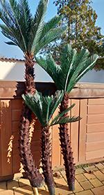 3 törzsü Cycas 1,8 m