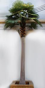 Karibi pálma