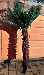 Cycas 90 cm